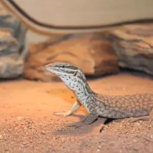 Spiny Tailed Monitor (Ackie) - Varanus acanthurus