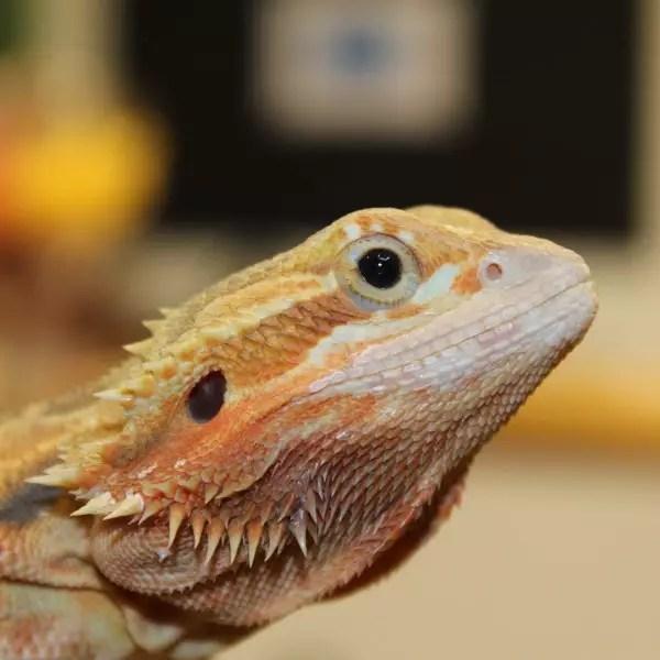 Translucent Citrus Red Bearded Dragon - Pogona Vitticeps