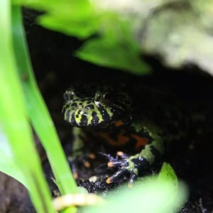 Fire Bellied Toads - Bombina orientalis