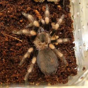 Giant Orange Knee – Brachypelma annitha