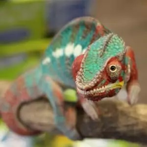 Close up photo of Hector the Panther chameleon