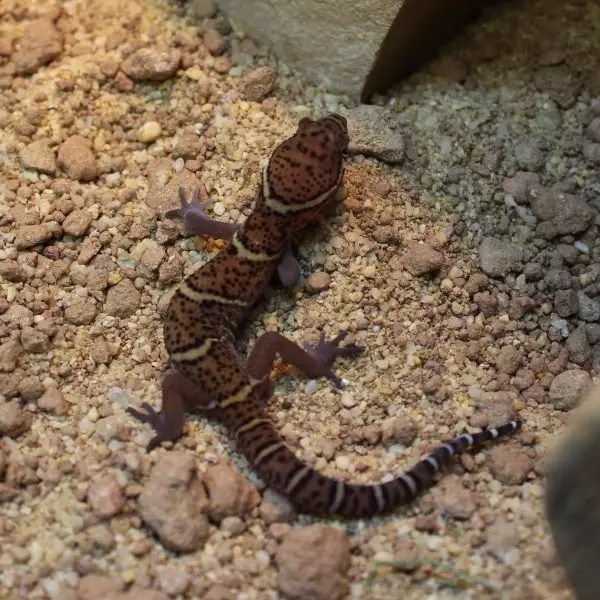 Banded Gecko Coleonyx variegatus 1