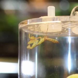 Cameroon Mantis sphodromantis sp