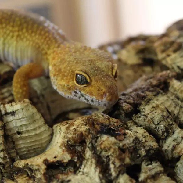 Leopard Gecko Set Up Evolution Reptiles