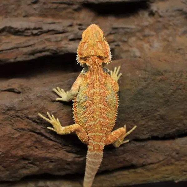 high-yellow-hypo-bearded-dragon-2