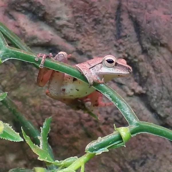 golden-tree-frog