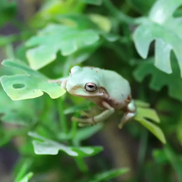 Whites Tree Frogs - Litoria caerulea - Evolution Reptiles