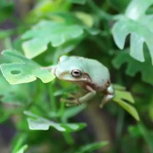 white-tree-frog