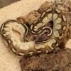 Lesser Pastel Calico Royal Python