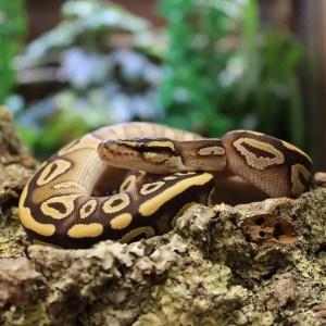 Mojave Royal Python 2