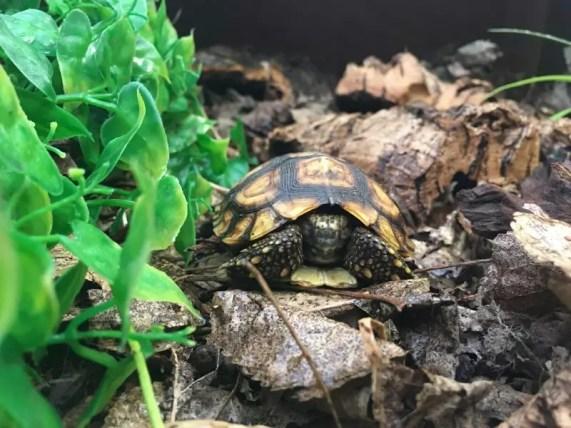 Bells Hingeback Tortoise 3