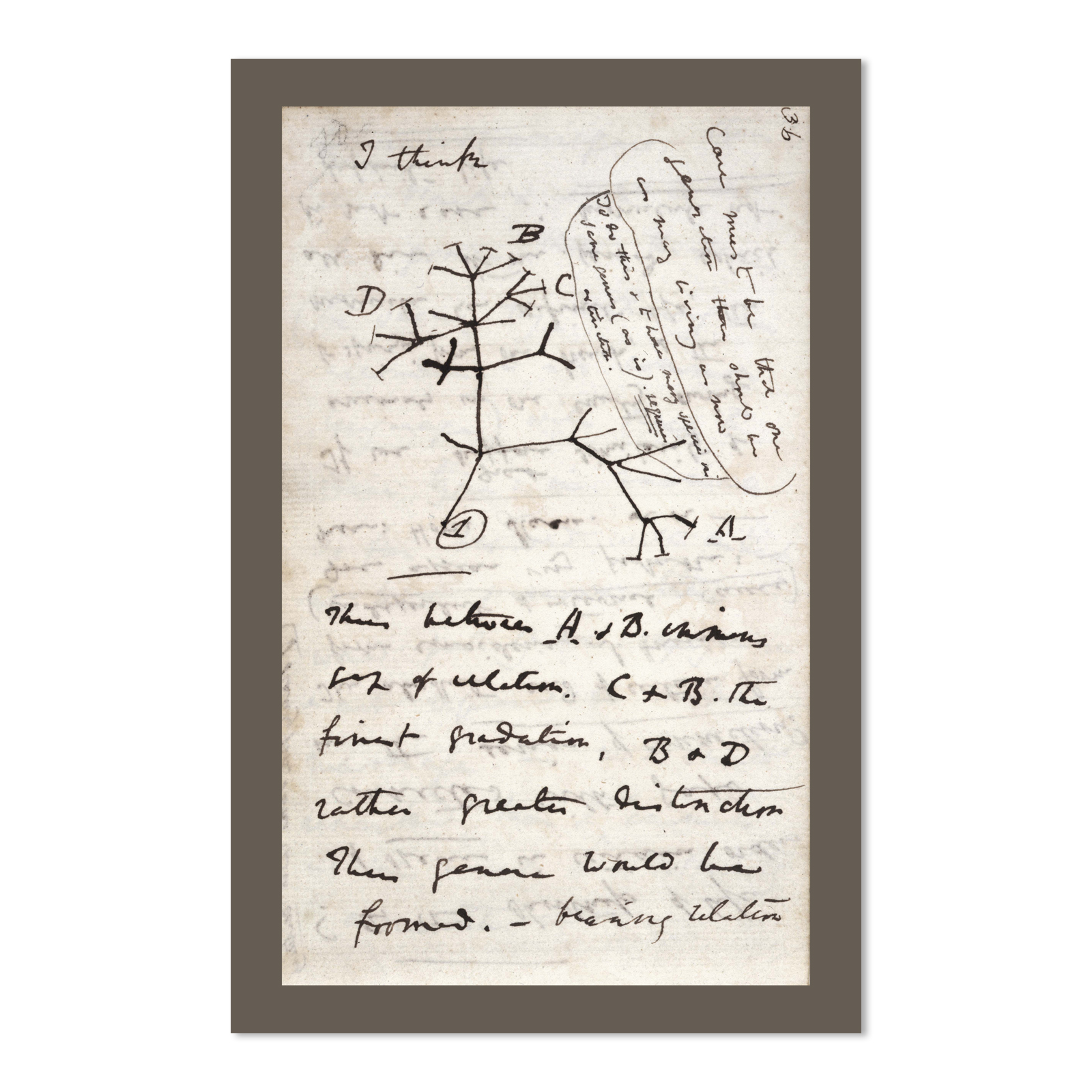 Darwin S Tree Of Life 11 X 17 Poster