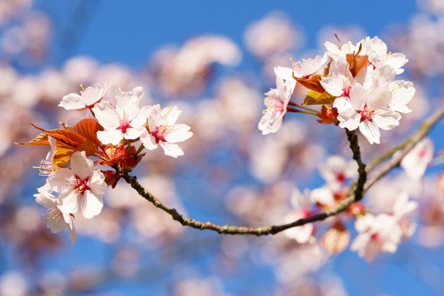 Vårblommor
