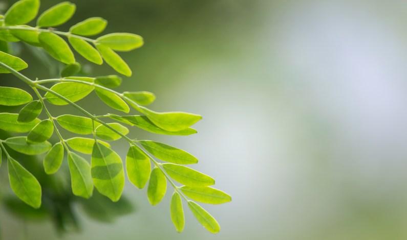 Moringa: pomocník proti nachlazení i nadbytečným kilogramům