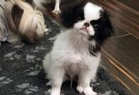 Japan Chin mívá kočičí móresy