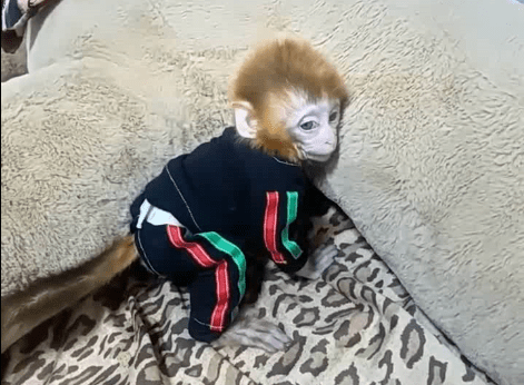 when pocket monkey coco