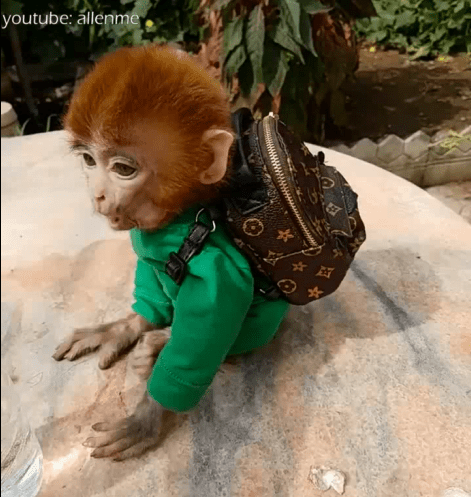 pocket monkey coco can