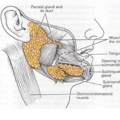 Anatomy Digestive Diagram Salivary Glands 2008 Chevy Cobalt Lt Radio Wiring Mcqs On Git Vipin Vagariya