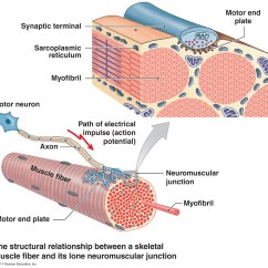 Muscle Fiber Diagram Hot Rod Tail Light Wiring Neuromuscular Junction