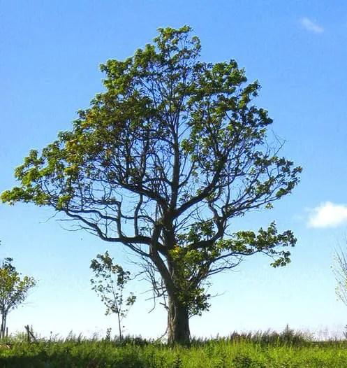 tree essay