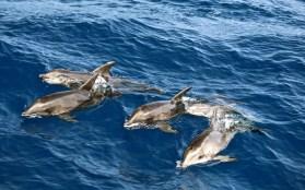 Delfines-Excursiones-en-Barco-Fuerteventura