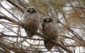 Downy owls can look quite melancholy indeed.