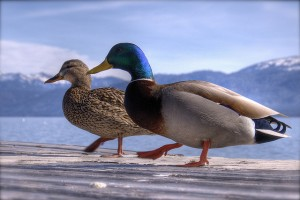 This duck couple is out for a walk together.