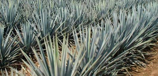 El agave reduce obesidad, diabetes y osteoporosis