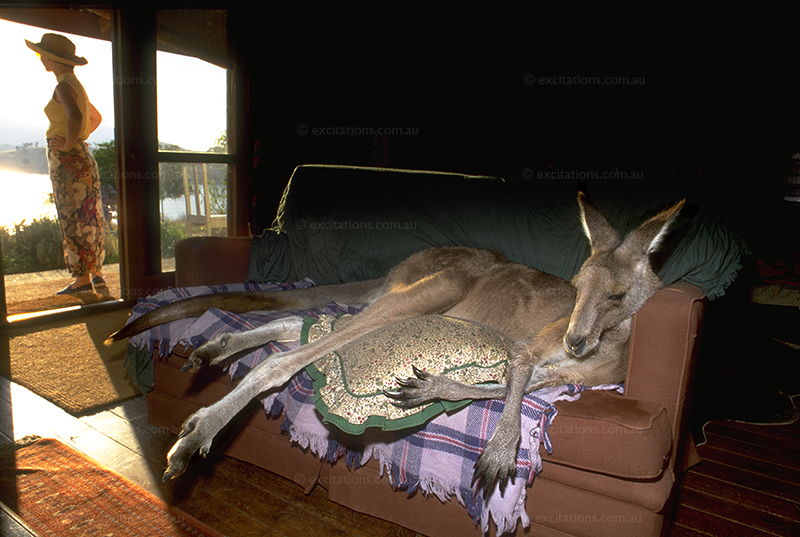 Large Kangaroo, resting indoors on a couch, outside view in background.Photo by Excitations, Mildura Photographers.