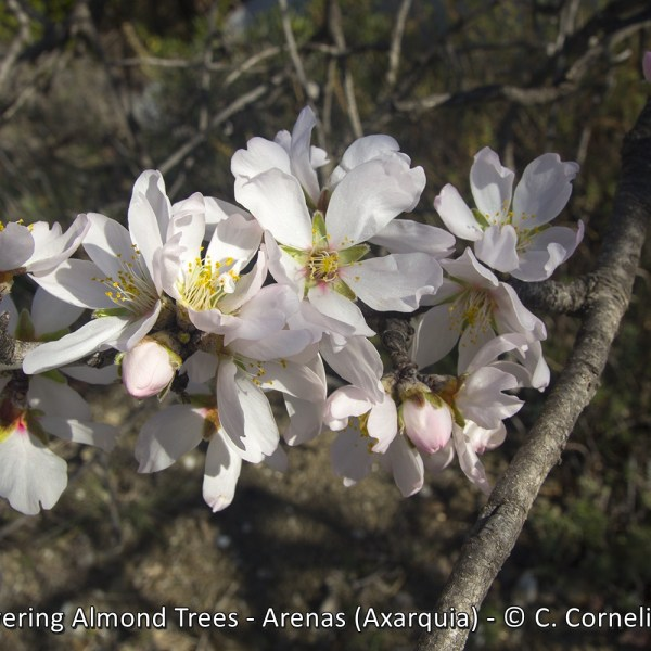 Flowering Almond Trees