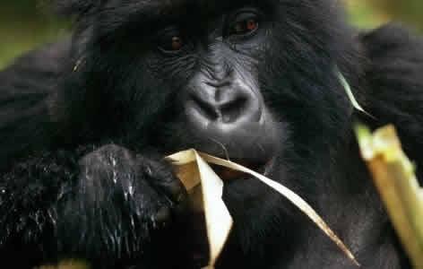 Festive Gorilla Permit Discount