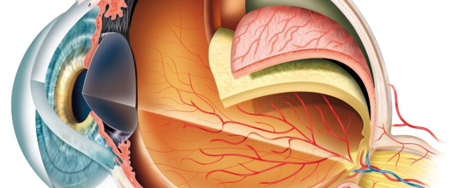 eye anatomy exeter eye