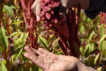 13 korzyści zdrowotnych wynikających ze spożywania amarantusa