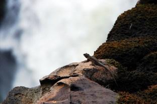 Gecko am relaxen