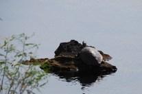Schildkröte (Suchbild)