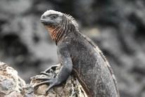 Meeresleguan (Sea Iguana)