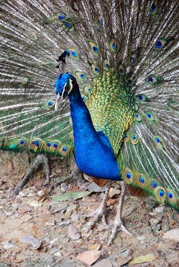Kuala Lumpur - Bird Park Pfau