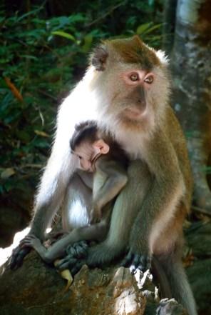 Langkawi - Makaken Affen