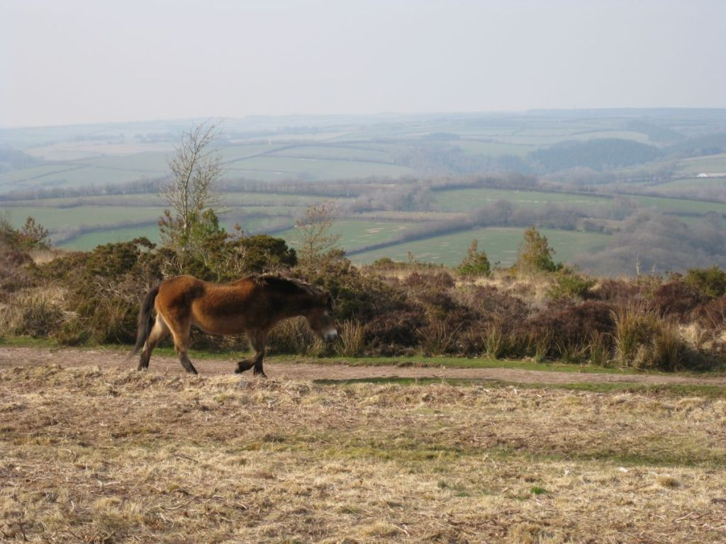 Exmoor pony on Haddon Hill, about 1 mile from West Withy Farm