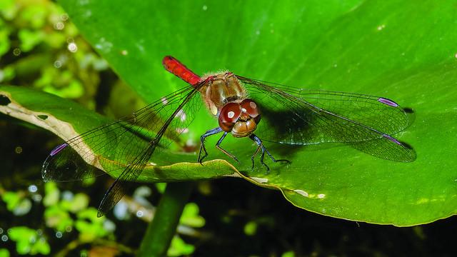 Dragonfly, Exmoor