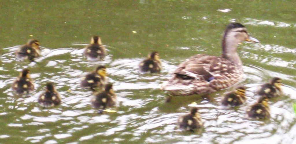 West Withy Farm - Ducklings on Lake