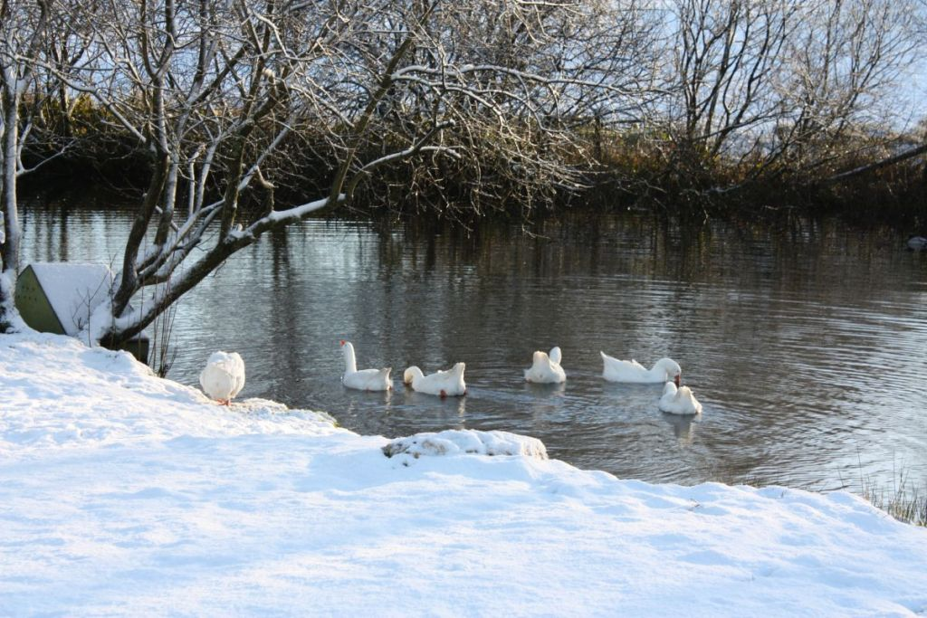 Geese on lake at West Withy Farm, Exmoor