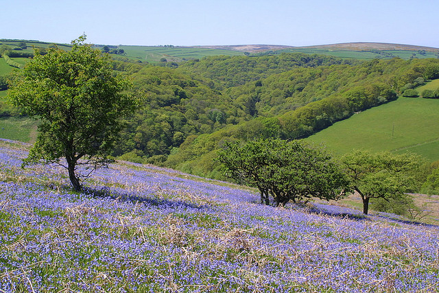 Bluebells above Tarr Steps, Exmoor