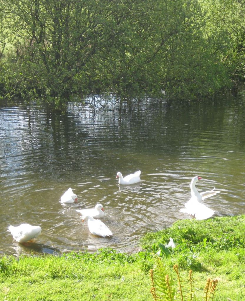 Geese on Lake, West Withy Farm, Exmoor