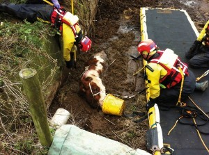 Red Watch rescuing a pedigree beef bull at a farm near Umberleigh.  Photo by Avril Stone.
