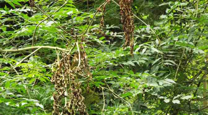 WARNING OVER ASH DIEBACK IN EXMOOR NATIONAL PARK
