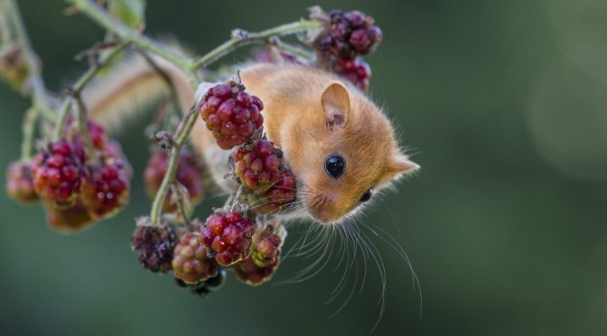 SOMERSET WILDLIFE TRUST LAUNCHES APPEAL TO PREVENT THE POSSIBLE EXTINCTION OF THE COUNTY'S DORMICE