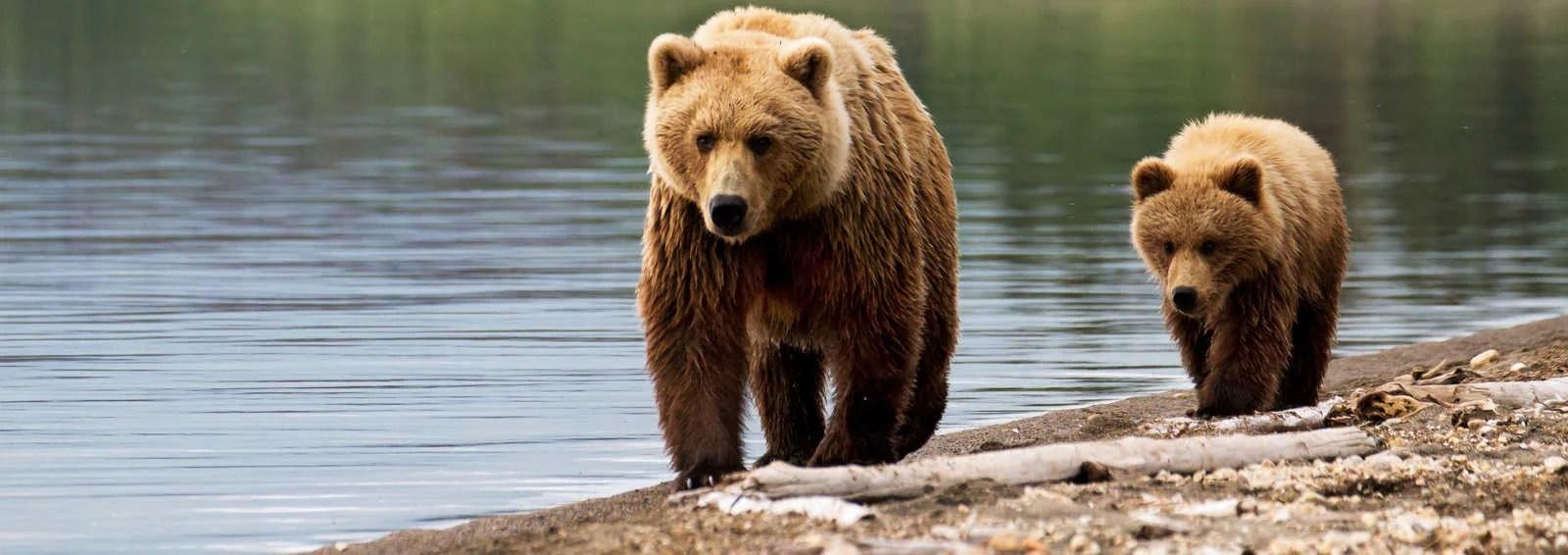 bear watching holidays wildlife