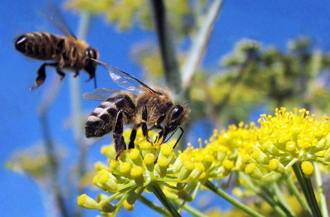 bees-on-flowers-photo345345