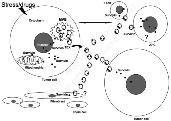 The emerging role of exosomes in survivin secretion
